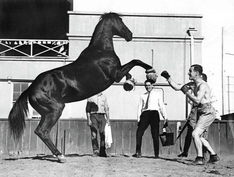 Боксер Реймонд Джонстон в спарринге с мустангом. 15 сентября 1926 г.