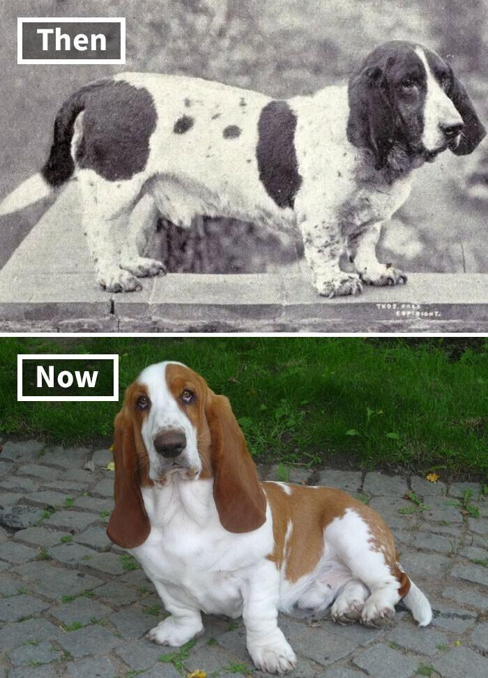 Бассет-хаунд - тогда и сейчас