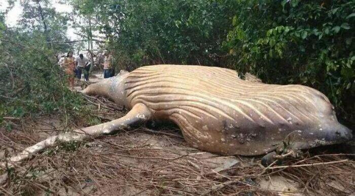 В тропических лесах Амазонки нашли мертвого горбатого кита