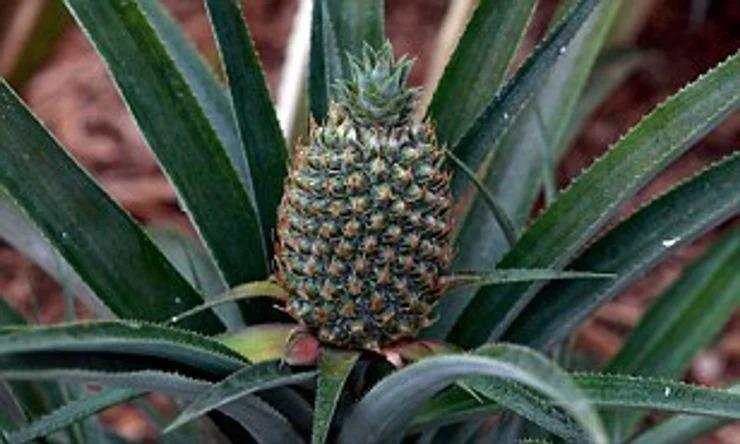 Корнуоллский ананас