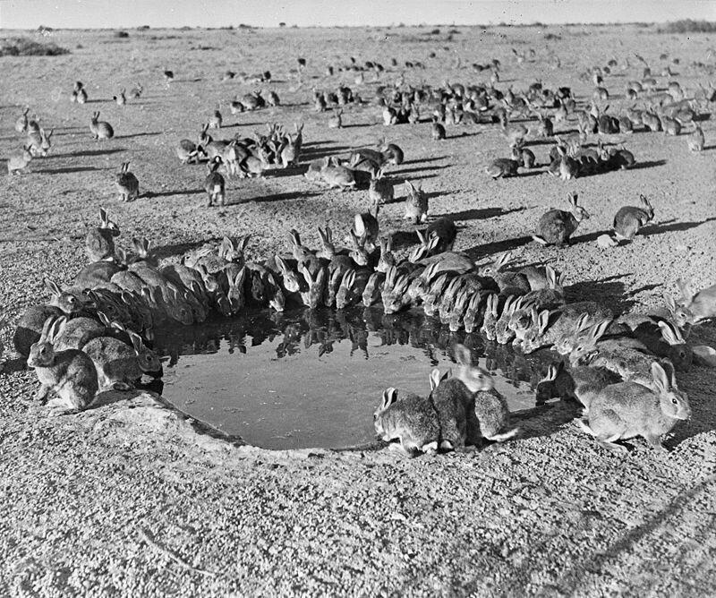 В 1938 году Австралия была страной не кенгуру, но кроликов