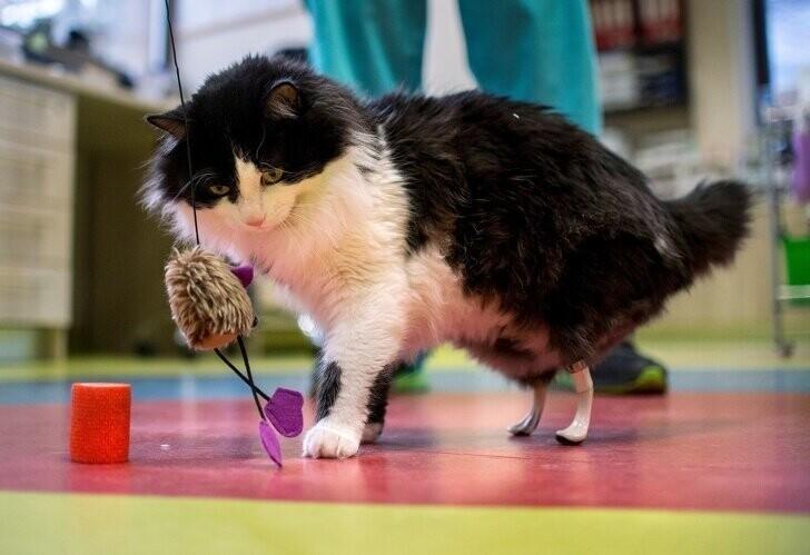 В результате несчастного случая кот потерял задние лапы, хирург из Болгарии сделал ему титановые протезы