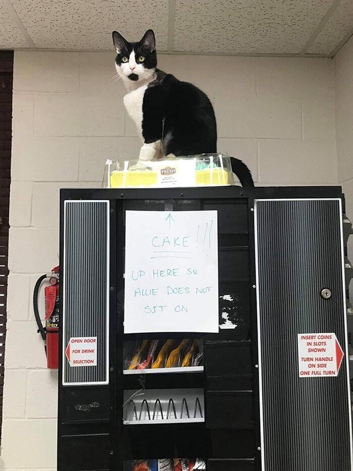 """""""Торт здесь, чтобы на нем не сидела кошка"""" - но кошка против системы"""