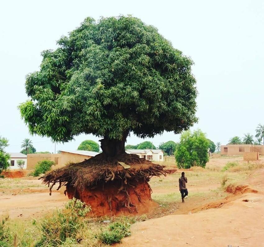 Дерево в Танзании, которое не волнует отсутствие почвы