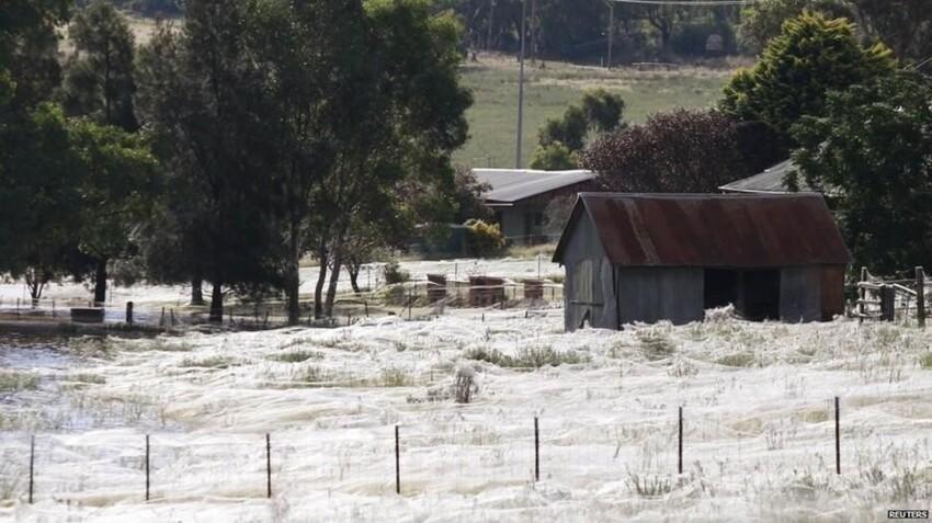 Миграция пауков, Австралия