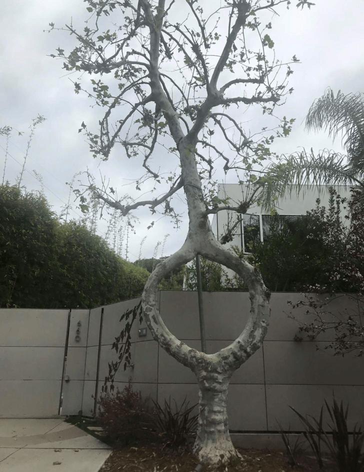 Ствол дерева расходится надвое и сходится снова