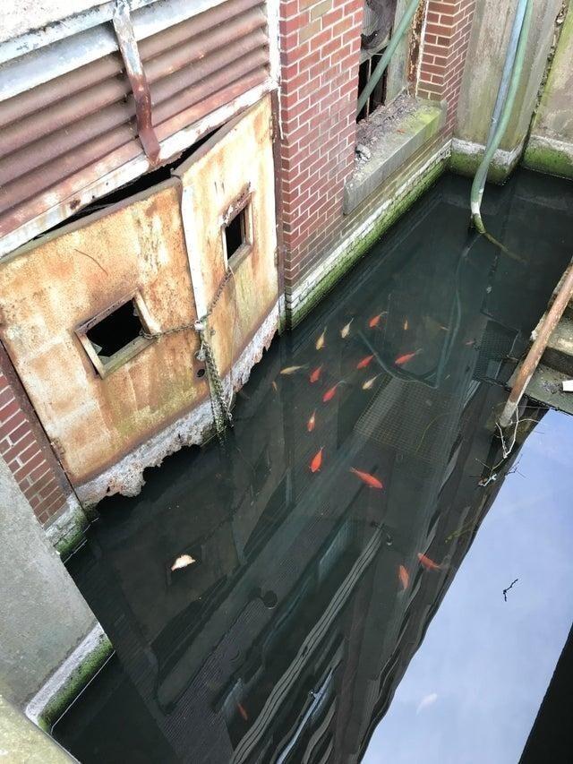 Золотые рыбки заполонили затопленный подвал склада на старой военно-морской базе в Филадельфии