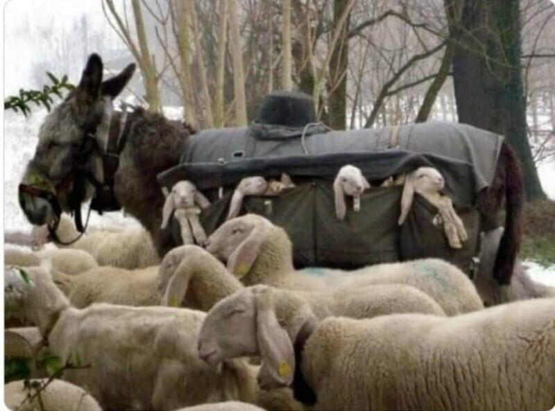 В Италии осликов-нянь дрессировали для того, чтобы они перевозили ягнят до пастбища