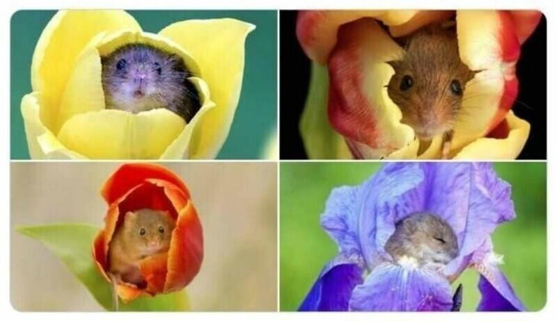 Мыши-малютки залезают в цветы, чтобы полакомиться пыльцой, и иногда засыпают в бутонах