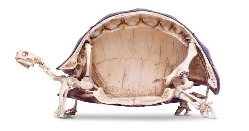 На случай, если вы еще не видели скелет черепахи