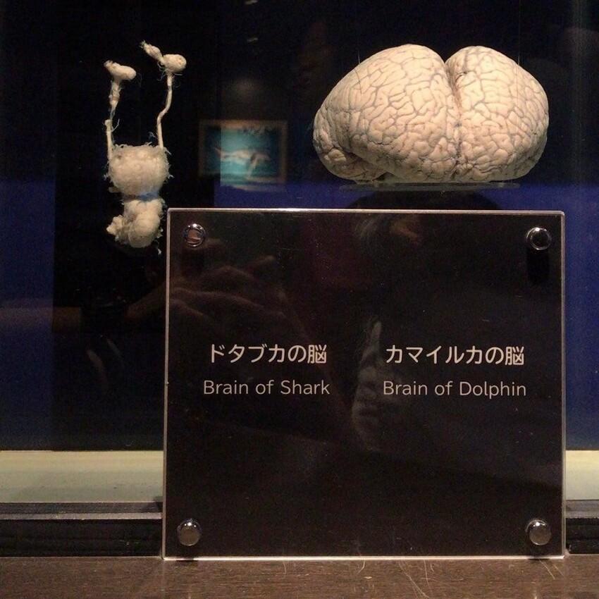 Слева представлен мозг акулы, справа - дельфина
