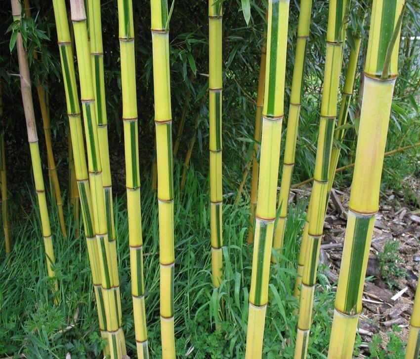 Полосатый бамбук  Phyllostachys aureosulcata 'Spectabilis'