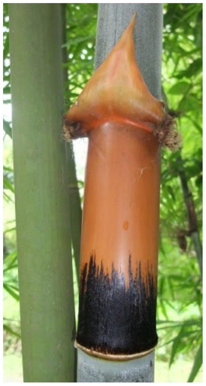 А это Cephalostachyum pergracile Munro - растет в Таиланде