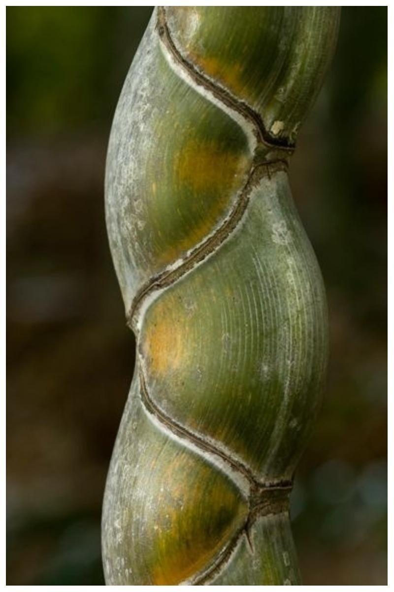 Бамбук: понятный и загадочный