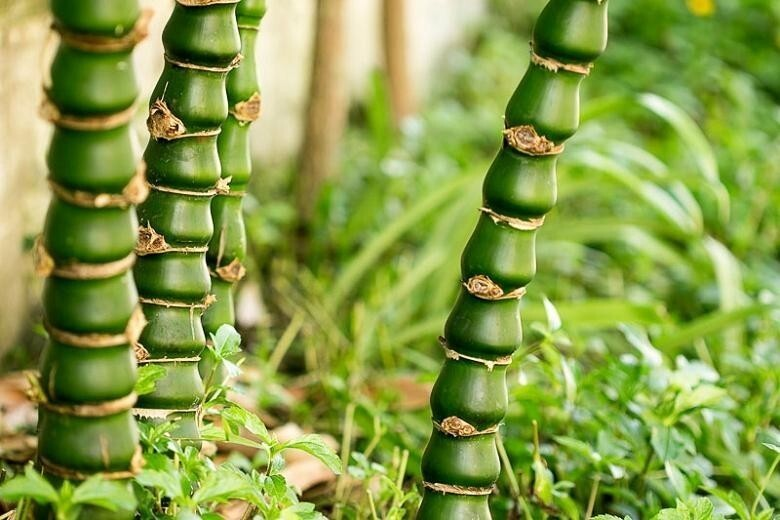 А такой бамбук вы видели? Бамбук вздутый (Bambusa ventricosa)