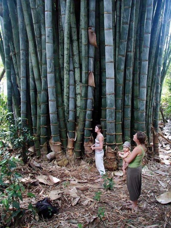 Бамбук бывает поистине огромных размеров