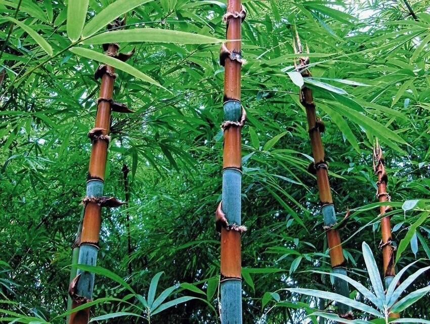 Цефалостах - род азиатского и мадагаскарского бамбука в семействе травяных и он бывает синего цвета