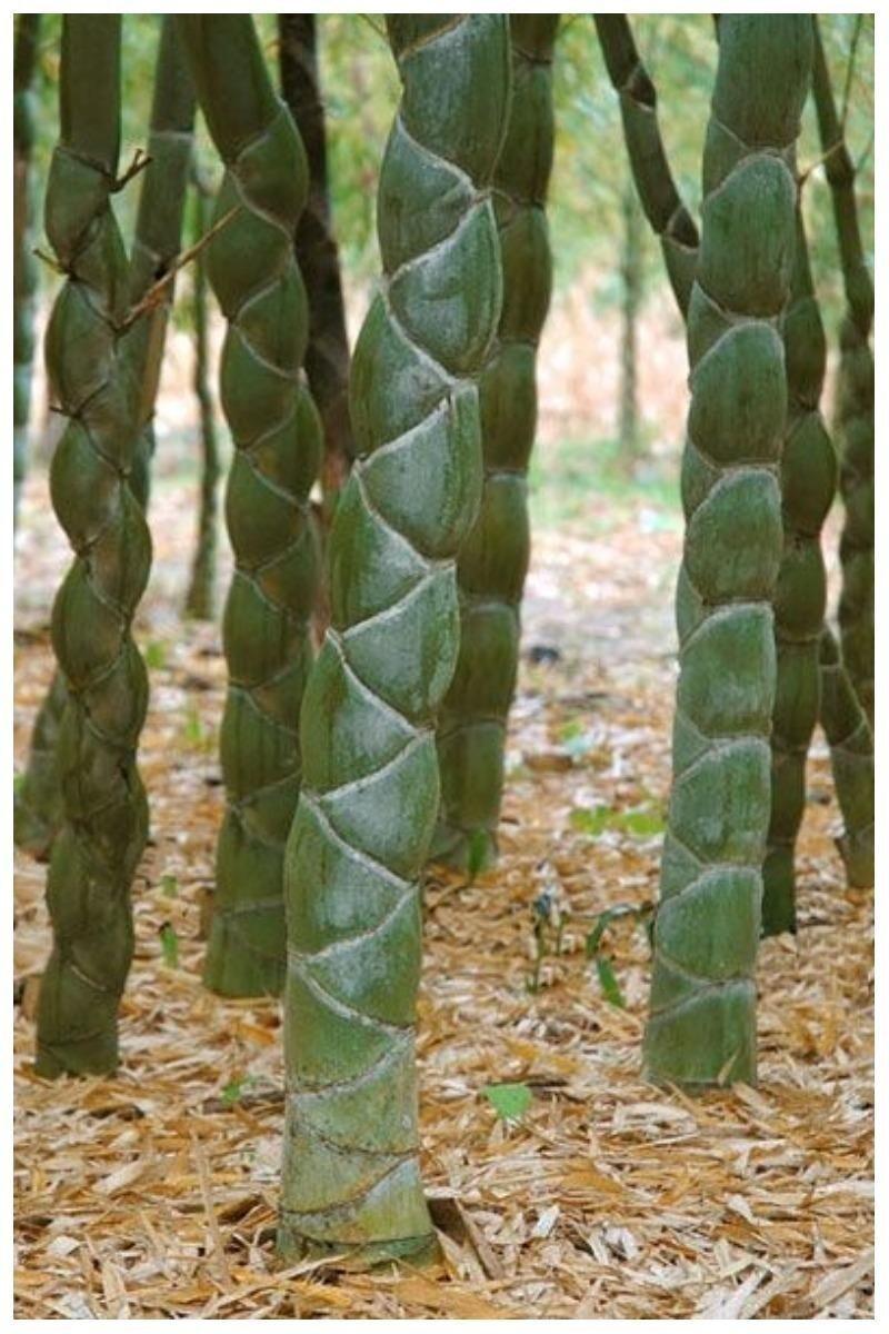 Phyllostachys edulis, бамбук Мозо или бамбуковый панцирь черепахи, или Мао Чжу, или Листокостник съедобный