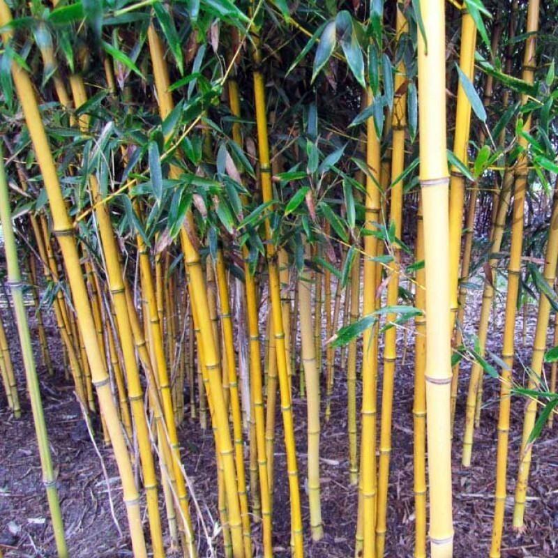Phyllostachys aureosulcata 'Aureocaulis' - Золотой бамбук