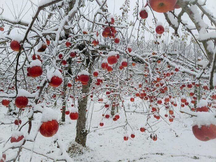 Яблоневый сад в снегу