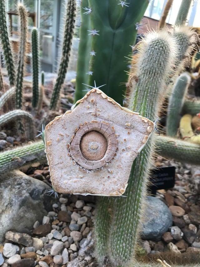 Ствол кактуса