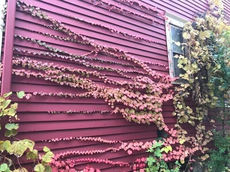 Виноград маскируется под цвет стены