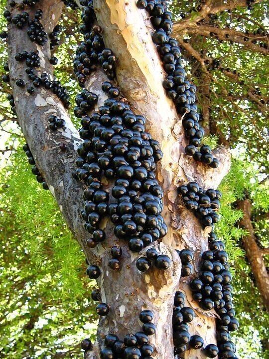 Это дерево под названием Jabuticaba (или бразильское виноградное дерево). Его плоды растут прямо из коры