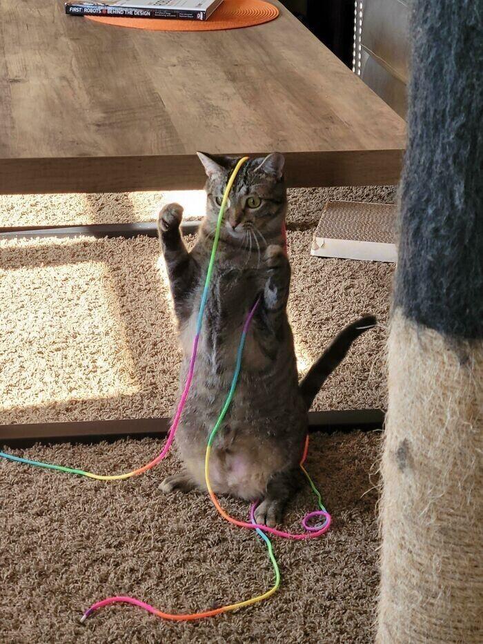 """""""Моя кошка зависла, играя со шнурочком"""""""