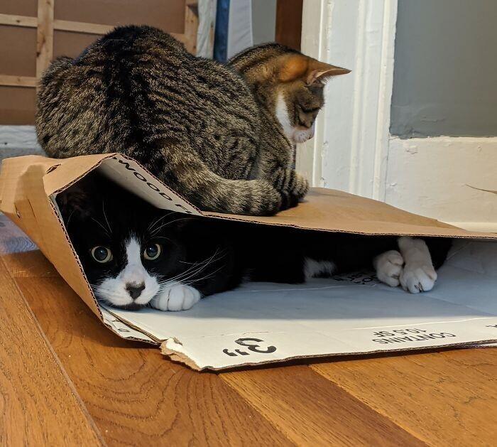 """""""Эпичная смесь из кота, который обожает сидеть в коробках, и кота, который обожает сидеть на коробках"""""""