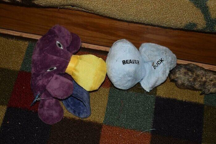 В качестве набивки в мехового утконоса спрятали два яйца: одно - бобра, другое - утки
