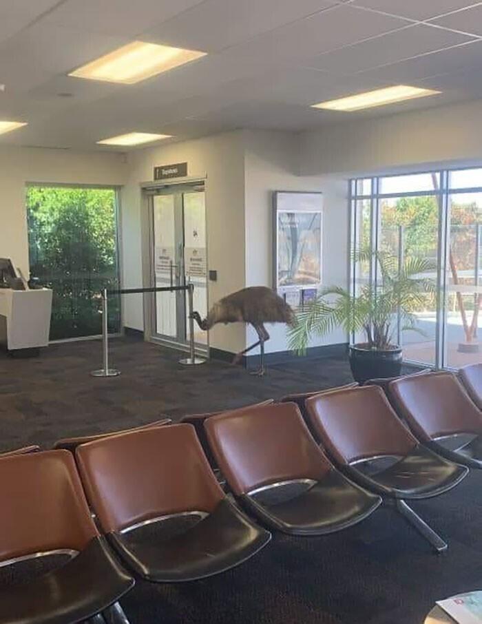 """""""Это страус эму, которому скучно. Он решился исследовать здание небольшого аэропорта"""""""