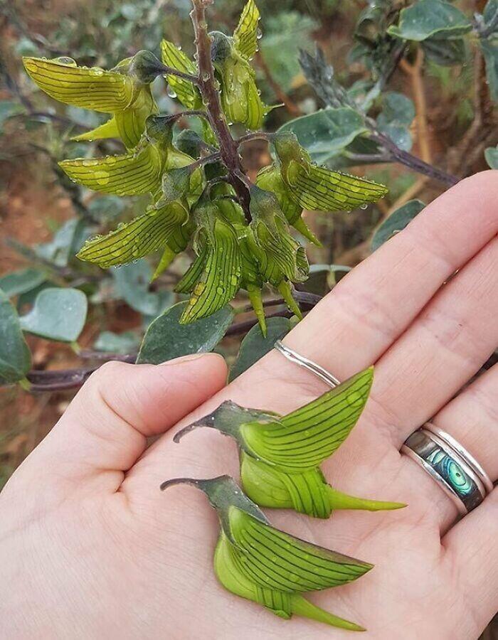 """Это интересное растение - родом из Австралии. Его называют """"зеленым птичьим цветком"""", а официально - Кроталярией Каннингема"""