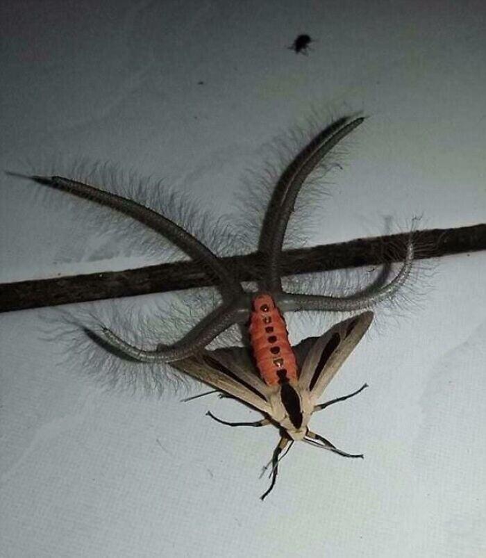 Австралийский мотылек