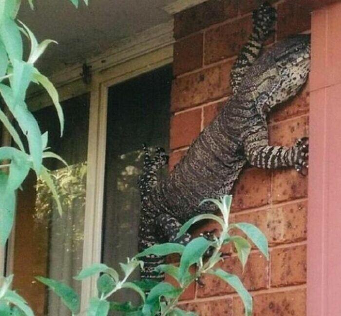 Ящерицы в Австралии