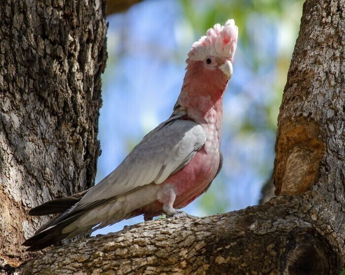 Розовый какаду, или гала