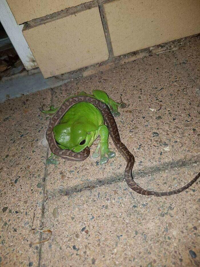 """""""Когда лягушки едят змей, вы знаете, что находитесь в Австралии"""""""
