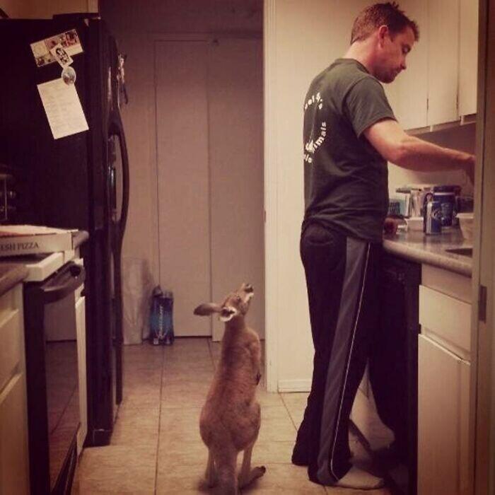 """""""Шестимесячный кенгуру, которого я выращиваю, очень нетерпелив во время кормления"""""""