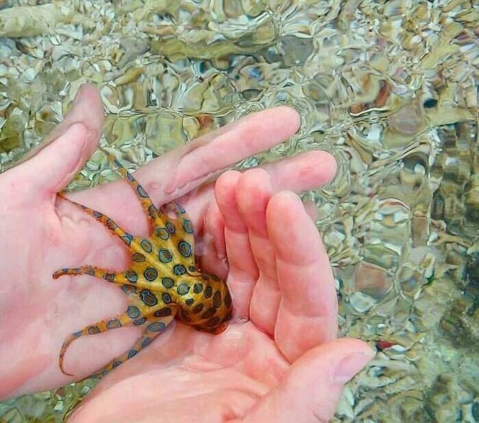 Синекольчатый осьминог, яд которого может убить в считанные минуты