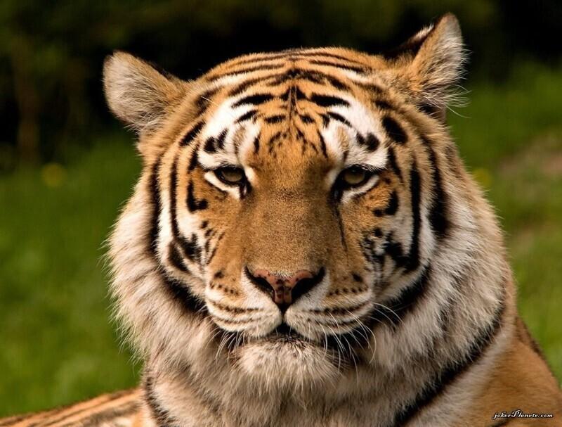 Тигры западного Таиланда