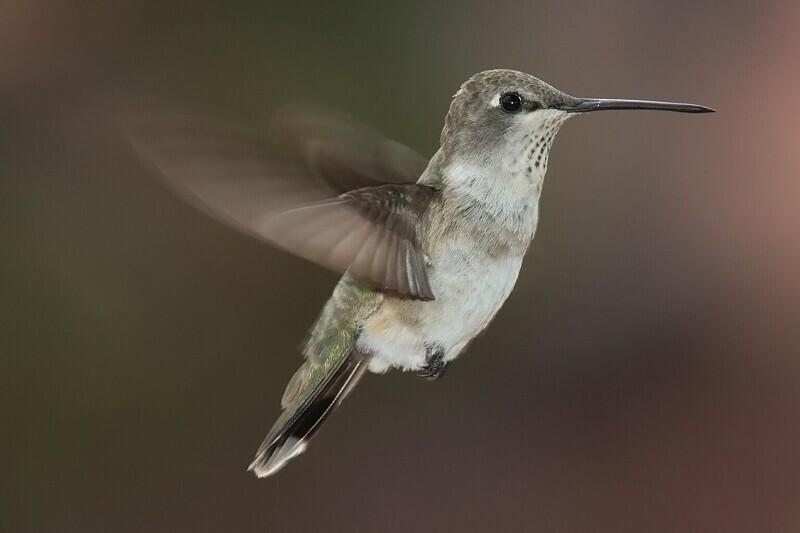 Средняя частота пульса колибри составляет более 1200 ударов в минуту.