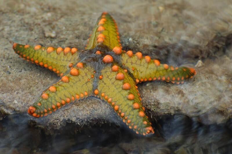 Морская звезда может вырастить свои конечности и регенерировать все тело из одного отростка