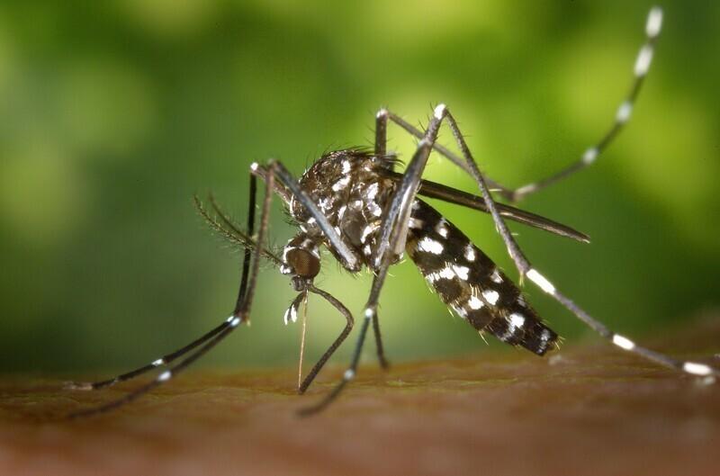 У комара 47 зубов. Эти зубы расположены на конце хоботка и не используются для пережевывания пищи, как наши зубы. Они используются для прорезания кожи или слоев защитной одежды