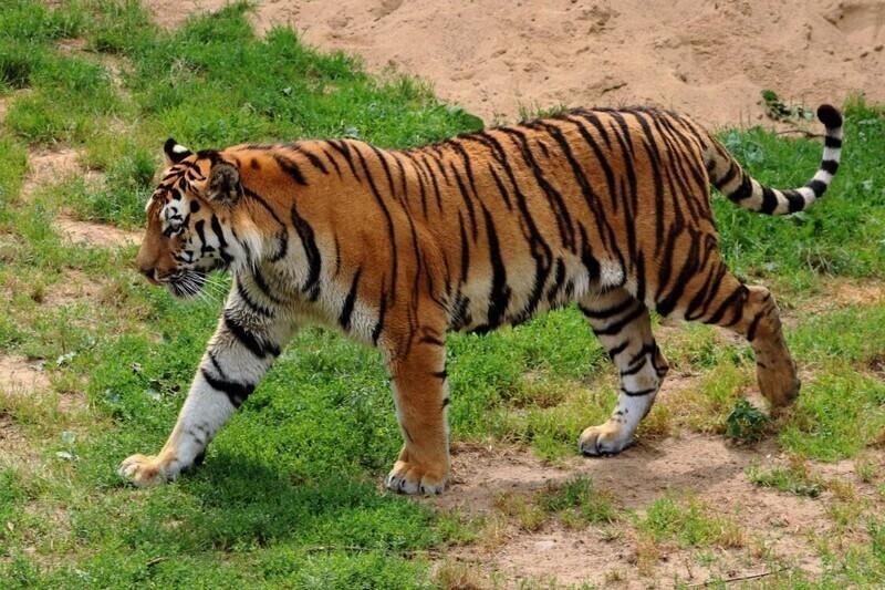 Полосы тигра похожи на отпечатки пальцев, и нет двух одинаковых полосатых узоров