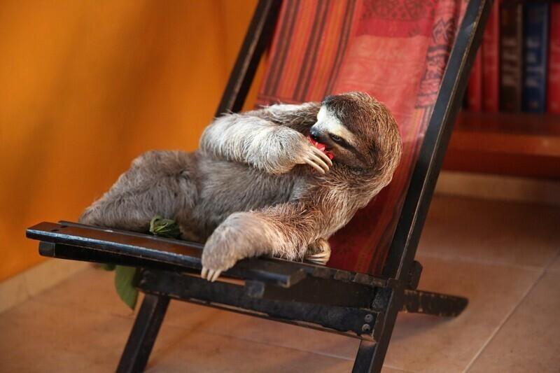 Иногда ленивцы хватаются за собственную руку, а не за ветку дерева, что может привести к смертельному падению