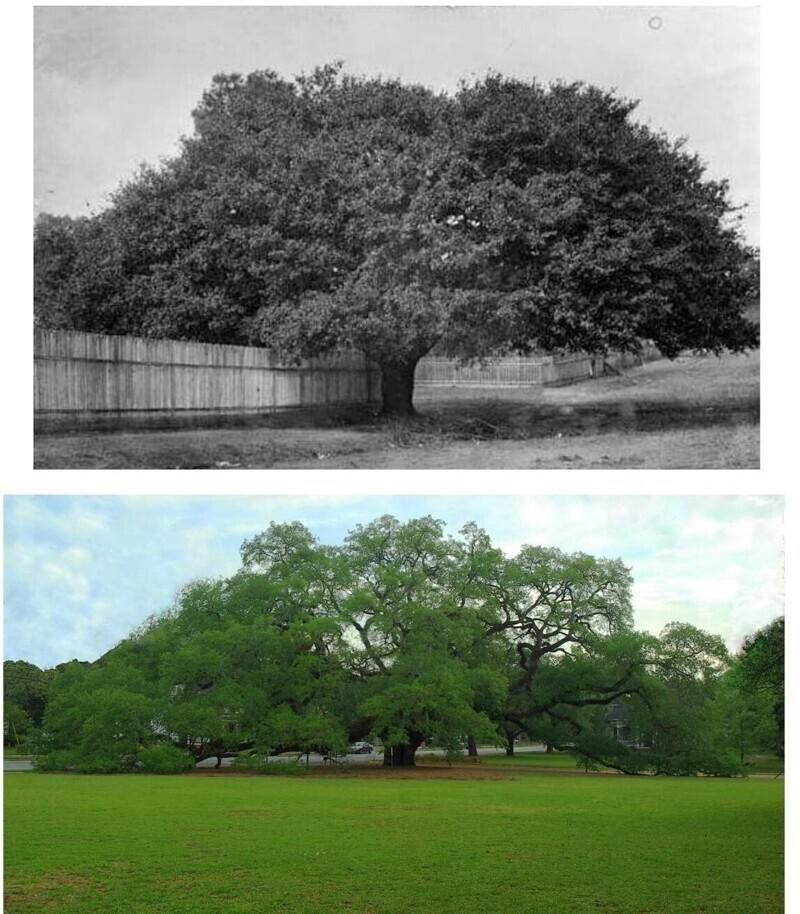 17. Большой дуб в Томасвилле, Джорджия, в 1895 году и в 2020-м