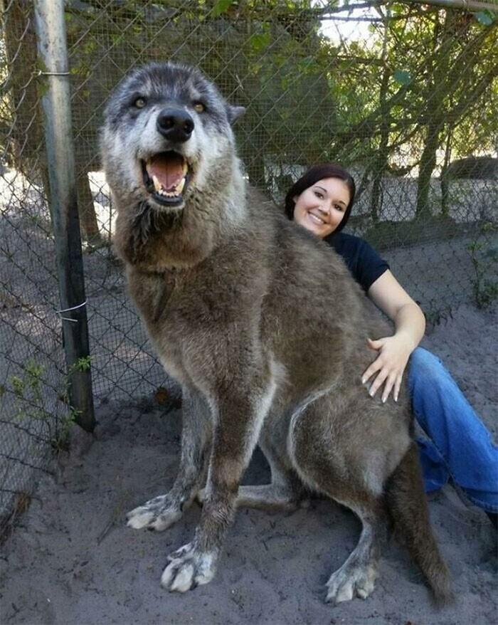 Помесь волка, хаски и немецкой овчарки, этот пес живет в заповеднике. Достойный охранник!