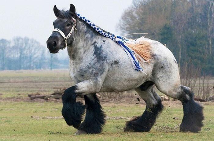 Арденнские лошади - одна из древнейших пород тяжеловозов, их разводили еще в Древнем Риме