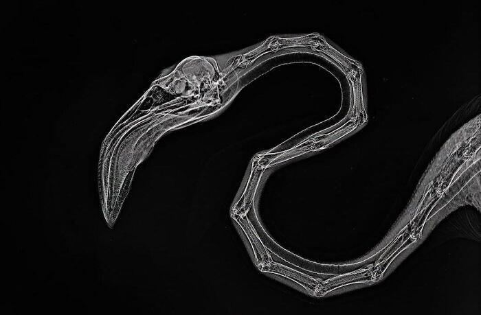Рентгеновский снимок фламинго