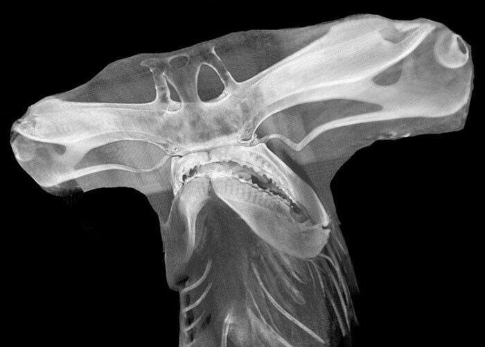 Акула-молот на рентгене