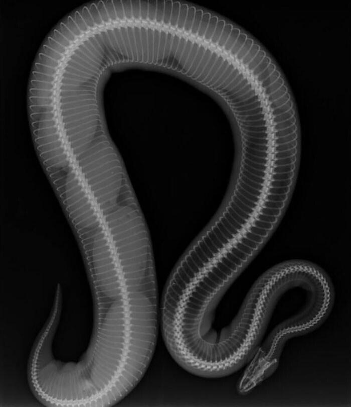 Беременная самка питона